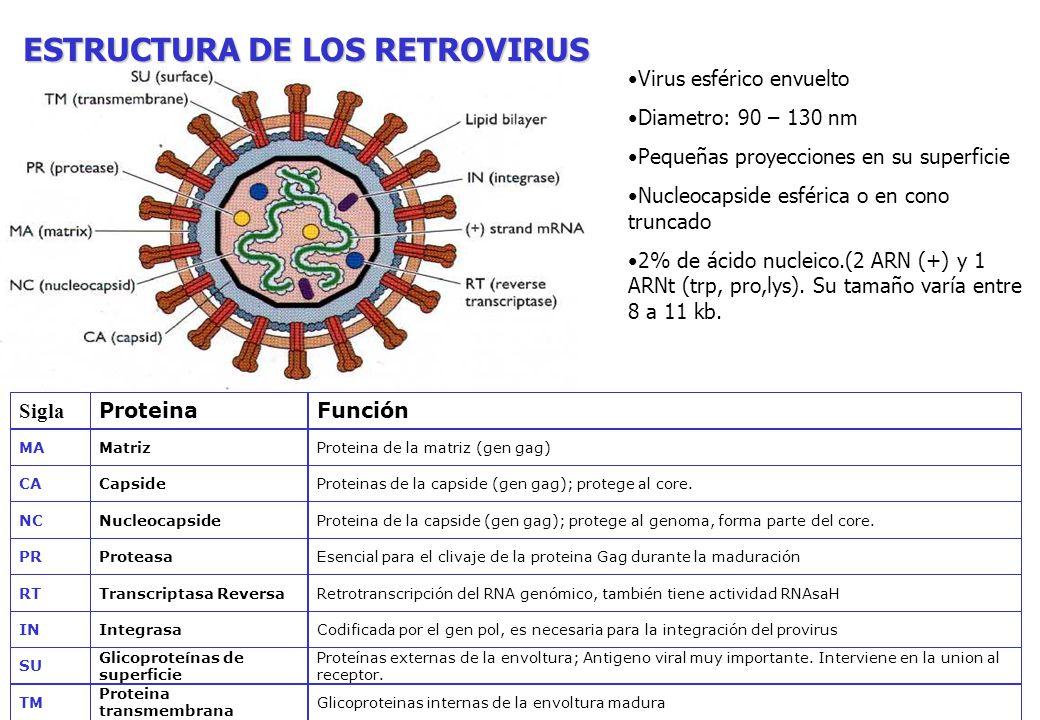 VIRUS DE INMUNODEFICIENCIA HUMANA Familia Retroviridae Subfamilia Orthoretrovirinae Género Lentivirus Tipos: VIH-1 y VIH-2 Virus esférico envuelto (90–130 nm) Genoma: 2 hebras simples de ARN + Proteínas de Superficie gp120-gp41 // gp105-gp36 Polimerasas unidas al ARN p65/51; p31 // p68 – p34 Proteinas del Core p17 -p24 // p16 - p26 p7 (NC) p32 (IN) p10 (PR) p66,p51 (RT) p17 (MA) p24 (CA) envoltura gp120 (SU) ARN+ gp 41 (TM)