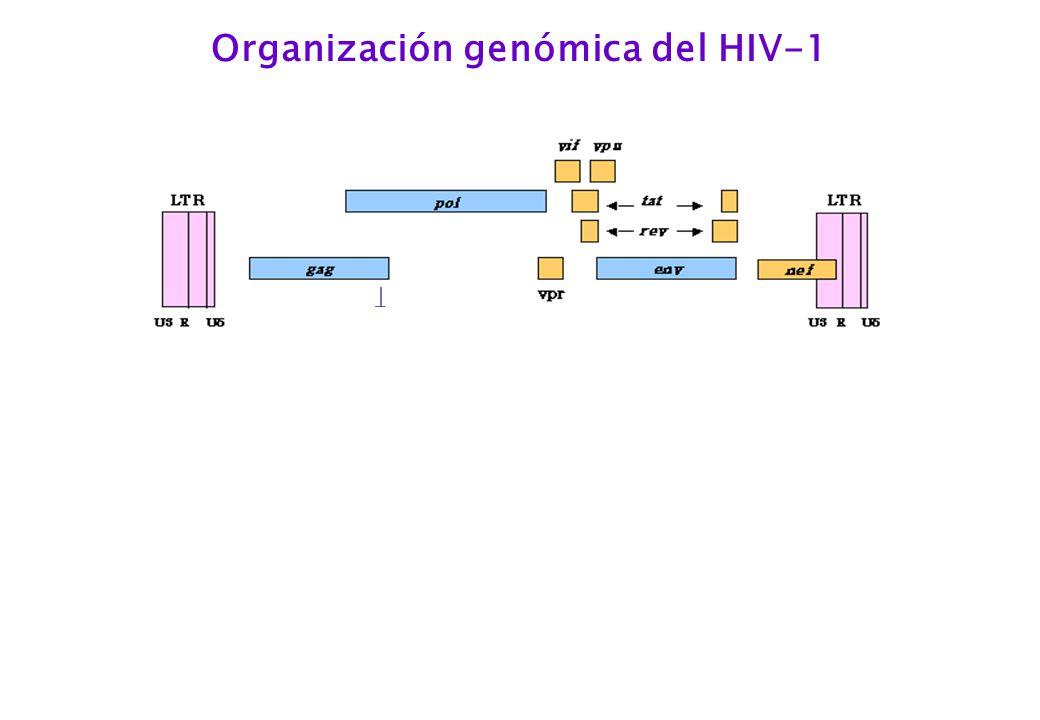 Organización genómica del HIV-1