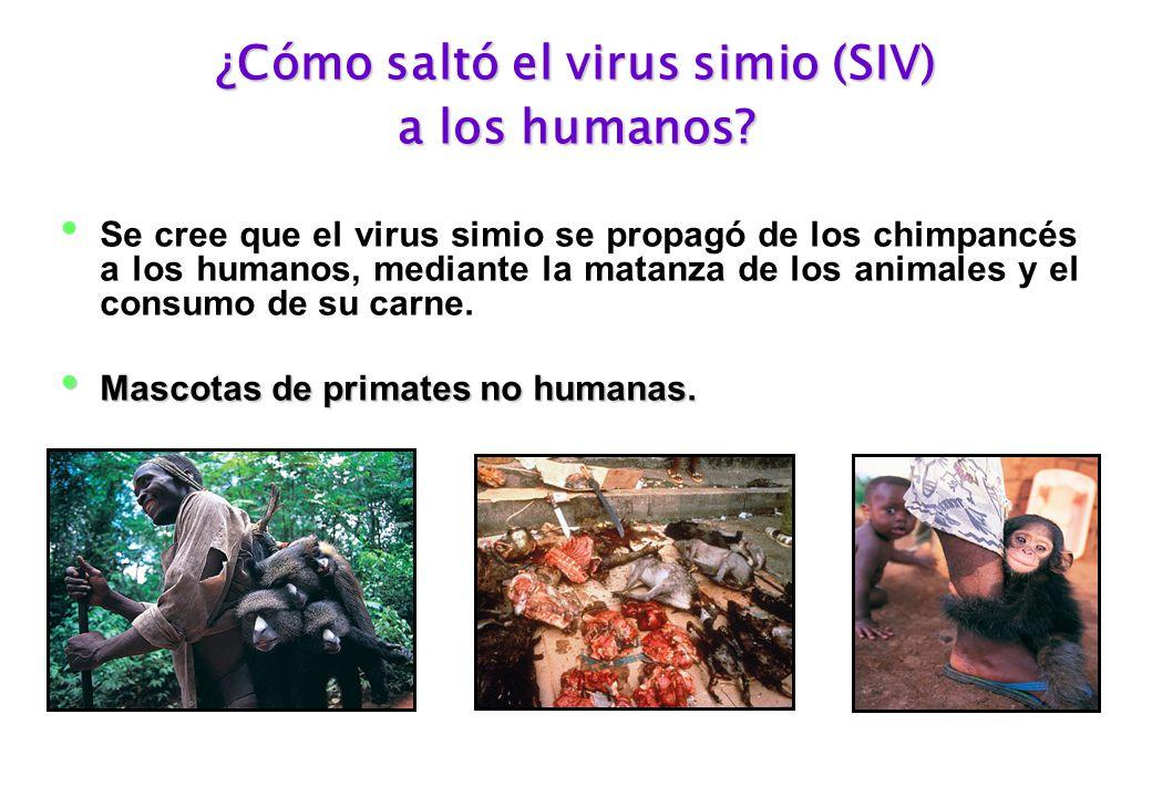 ¿Cómo saltó el virus simio (SIV) a los humanos.
