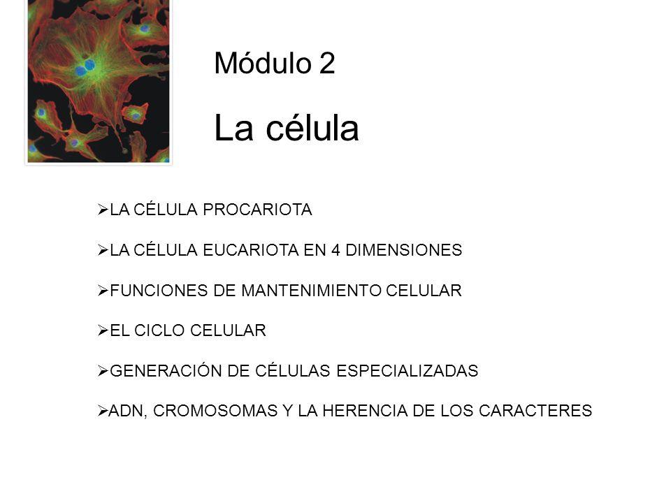 Módulo 2 La célula LA CÉLULA PROCARIOTA LA CÉLULA EUCARIOTA EN 4 DIMENSIONES FUNCIONES DE MANTENIMIENTO CELULAR EL CICLO CELULAR GENERACIÓN DE CÉLULAS ESPECIALIZADAS ADN, CROMOSOMAS Y LA HERENCIA DE LOS CARACTERES
