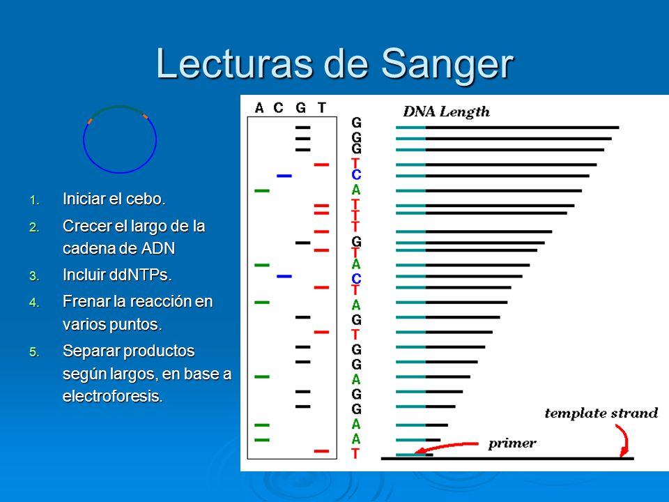 Lecturas de Sanger 1. Iniciar el cebo. 2. Crecer el largo de la cadena de ADN 3. Incluir ddNTPs. 4. Frenar la reacción en varios puntos. 5. Separar pr