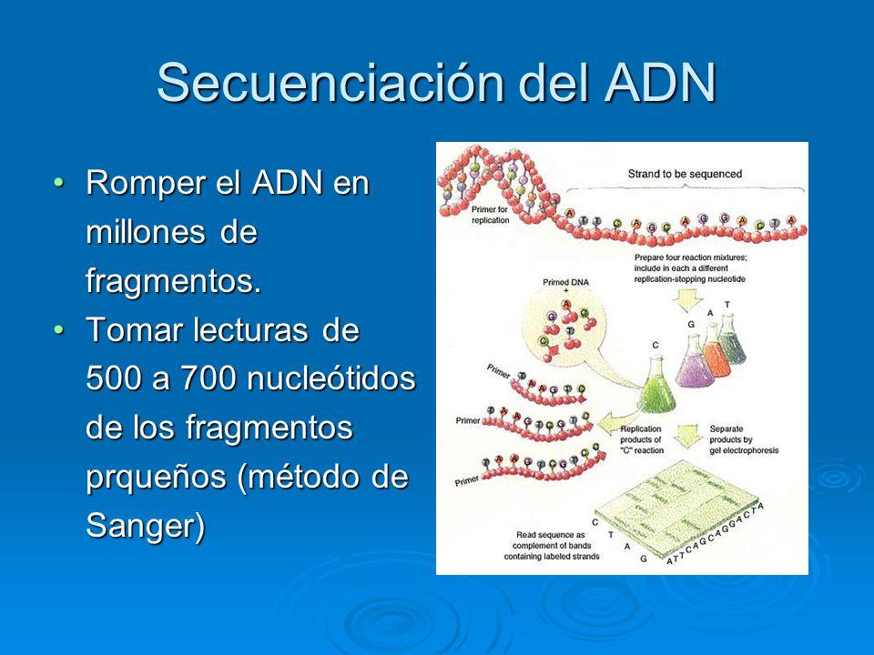 Secuenciación del ADN Romper el ADN en millones de fragmentos.Romper el ADN en millones de fragmentos. Tomar lecturas de 500 a 700 nucleótidos de los