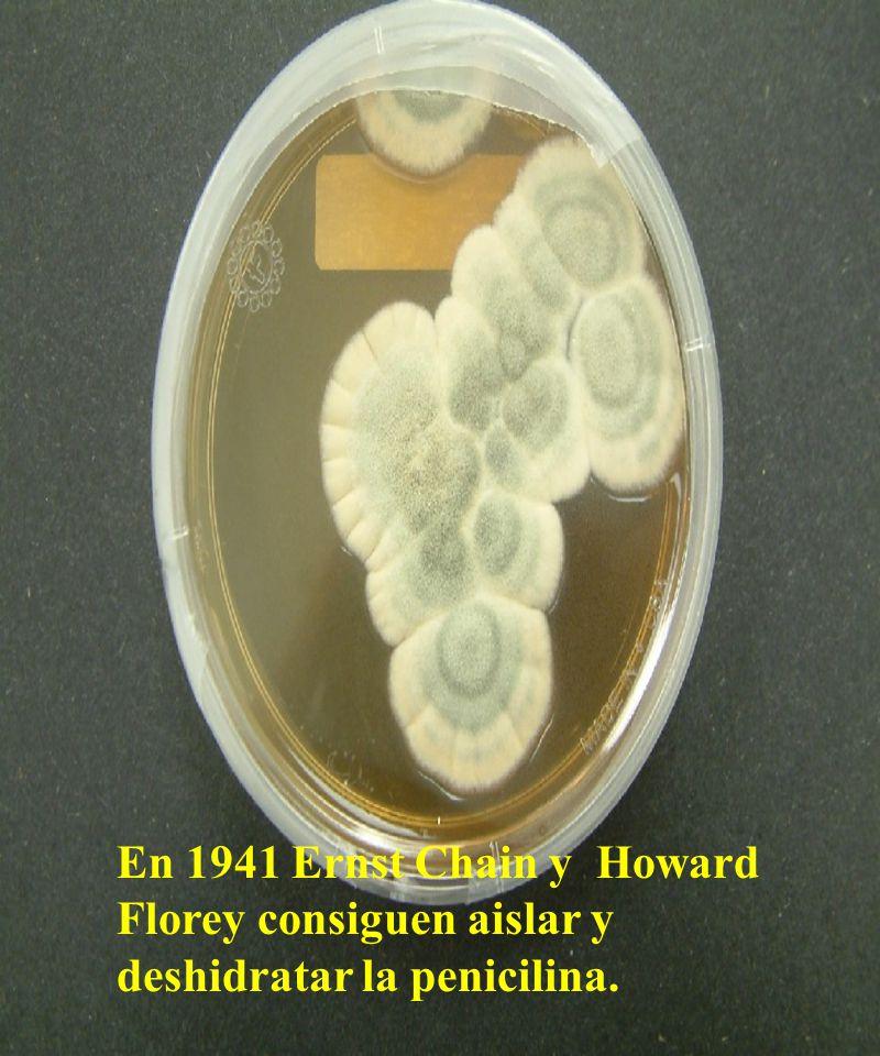 Farmacocinética Absorción digestiva Penicilina G Penicilina V Ampicilina Amoxicilina Excreción: activos por la orina