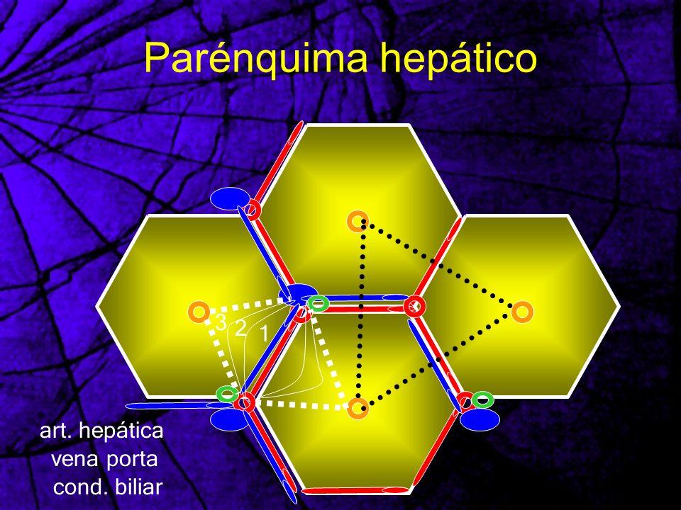 Parénquima hepático 3 2 1 art. hepática vena porta cond. biliar