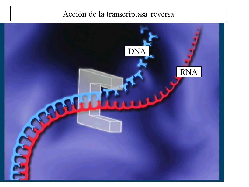 Acción de la transcriptasa reversa DNA RNA