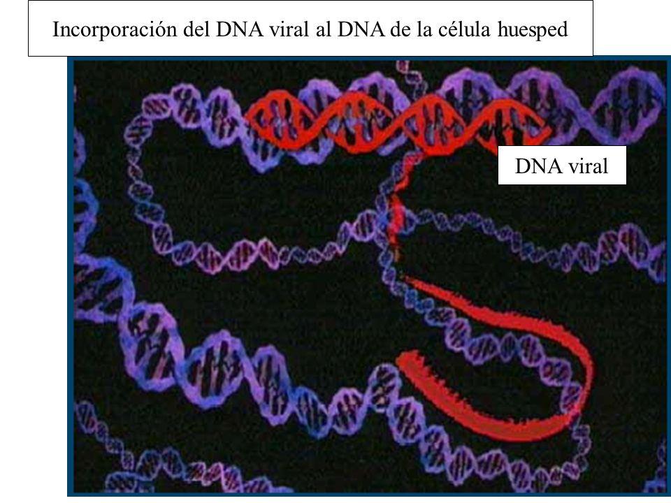 Incorporación del DNA viral al DNA de la célula huesped DNA viral