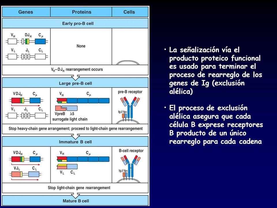 La señalización vía el producto proteico funcional es usado para terminar el proceso de rearreglo de los genes de Ig (exclusión alélica) El proceso de exclusión alélica asegura que cada célula B exprese receptores B producto de un único rearreglo para cada cadena