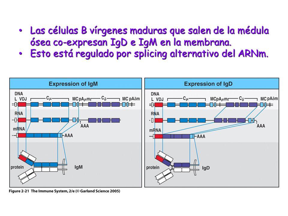 Figure 2-21 Las células B vírgenes maduras que salen de la médula ósea co-expresan IgD e IgM en la membrana. Las células B vírgenes maduras que salen
