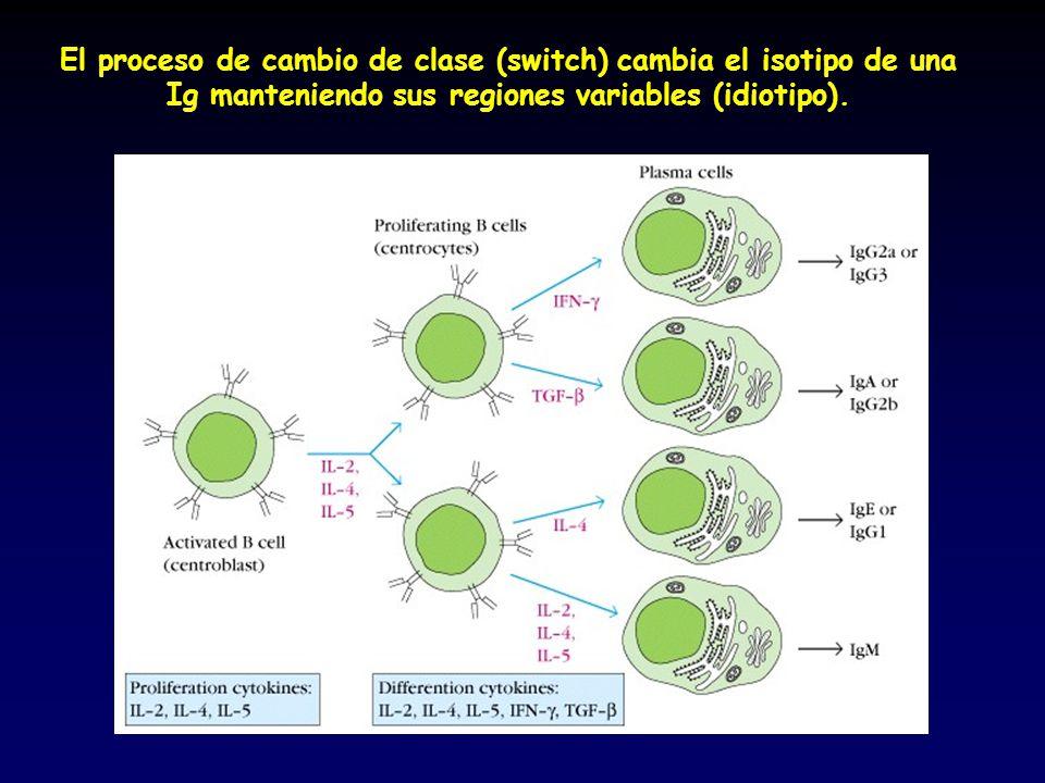 El proceso de cambio de clase (switch) cambia el isotipo de una Ig manteniendo sus regiones variables (idiotipo).