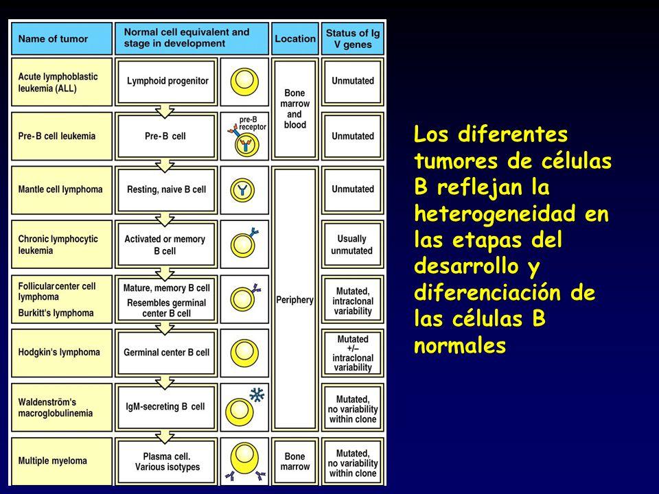 Los diferentes tumores de células B reflejan la heterogeneidad en las etapas del desarrollo y diferenciación de las células B normales