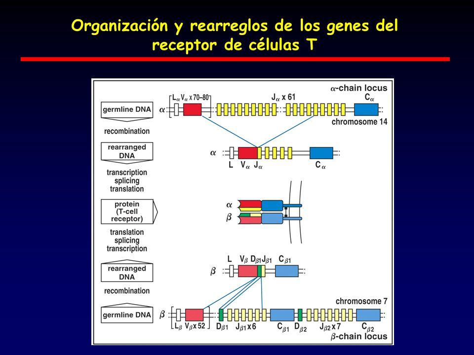 Organización y rearreglos de los genes del receptor de células T