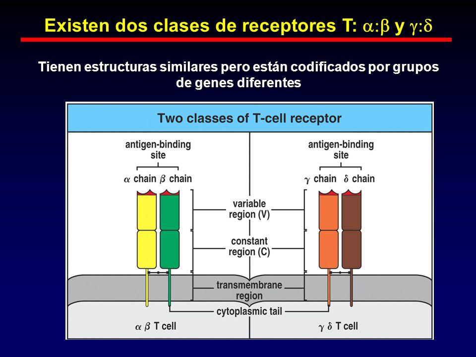Existen dos clases de receptores T: y Existen dos clases de receptores T: y Tienen estructuras similares pero están codificados por grupos de genes di