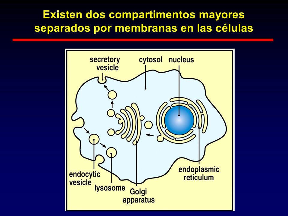 Existen dos compartimentos mayores separados por membranas en las células