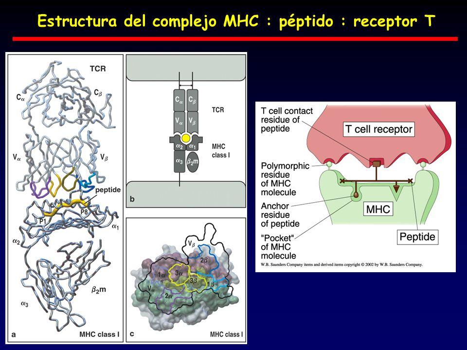 Estructura del complejo MHC : péptido : receptor T