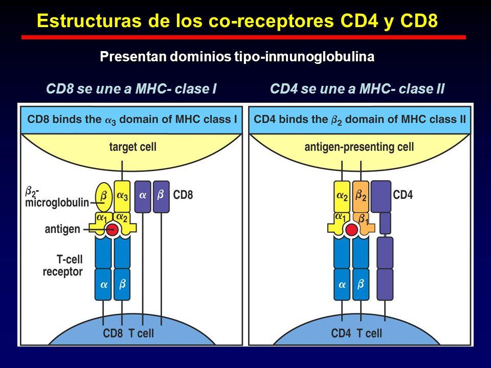 Estructuras de los co-receptores CD4 y CD8 Presentan dominios tipo-inmunoglobulina CD8 se une a MHC- clase ICD4 se une a MHC- clase II