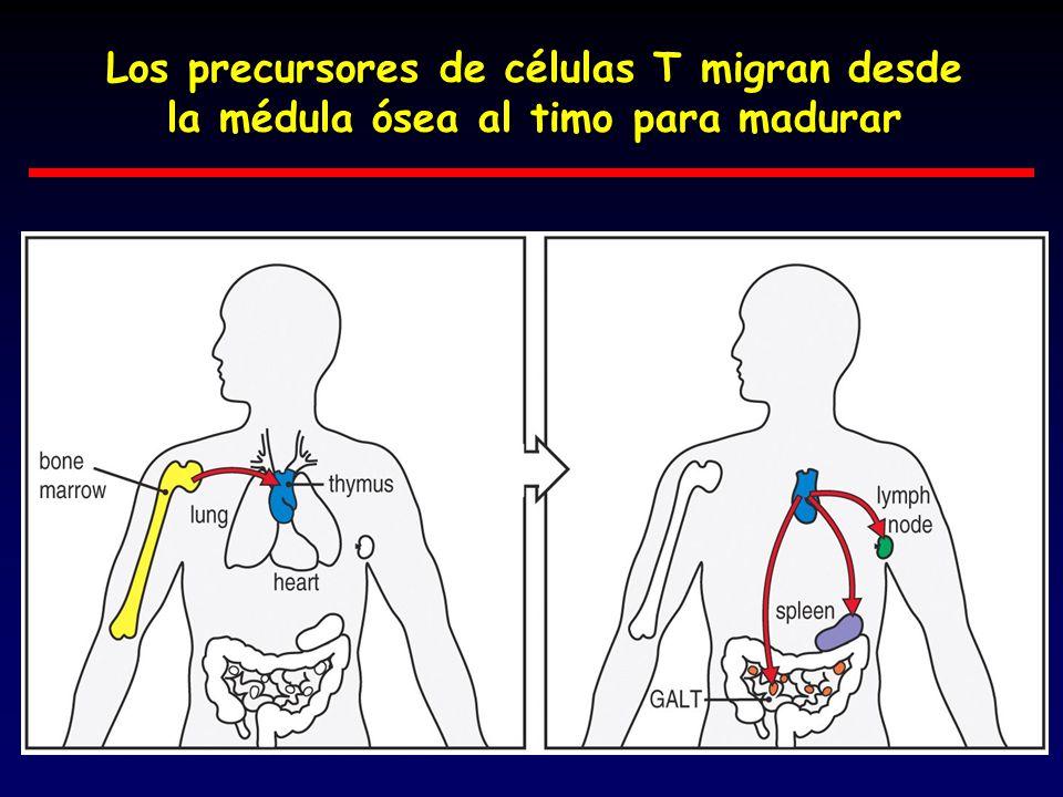 Los precursores de células T migran desde la médula ósea al timo para madurar
