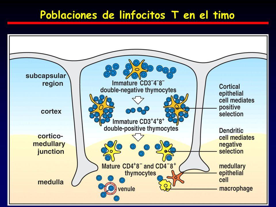 Poblaciones de linfocitos T en el timo