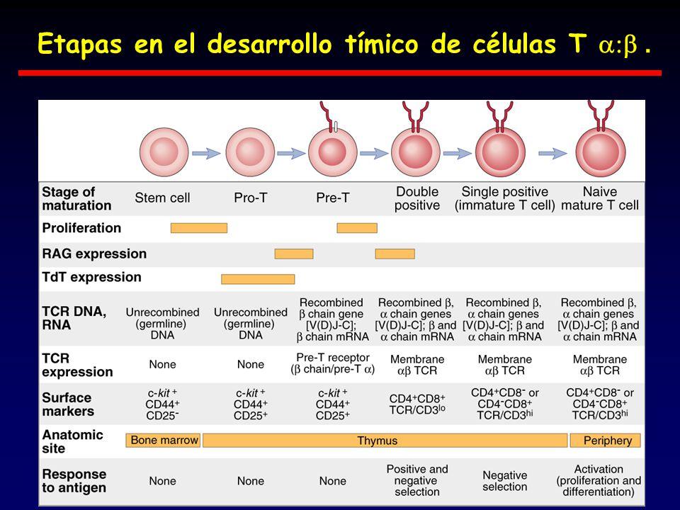 Etapas en el desarrollo tímico de células T.
