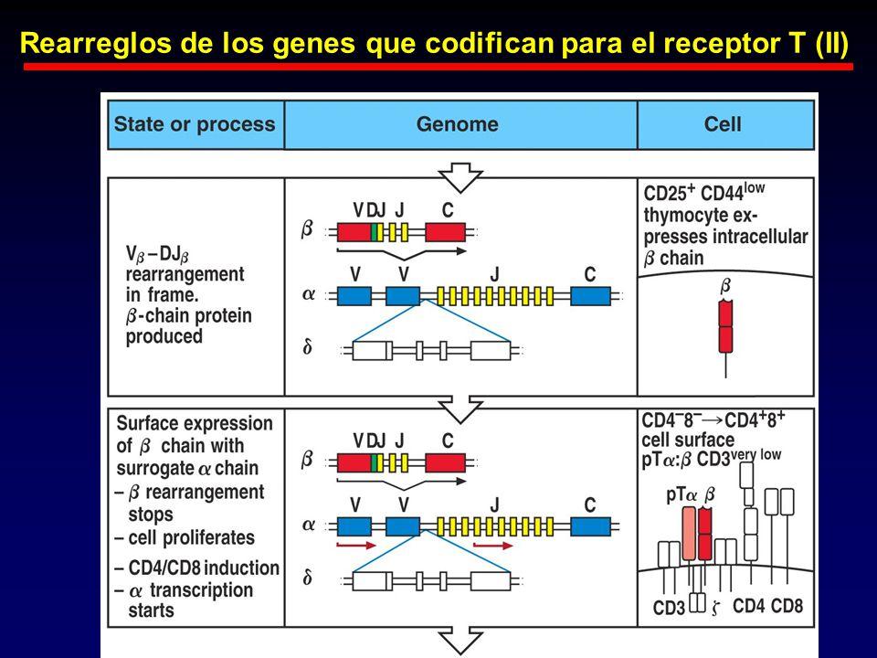 Rearreglos de los genes que codifican para el receptor T (II)