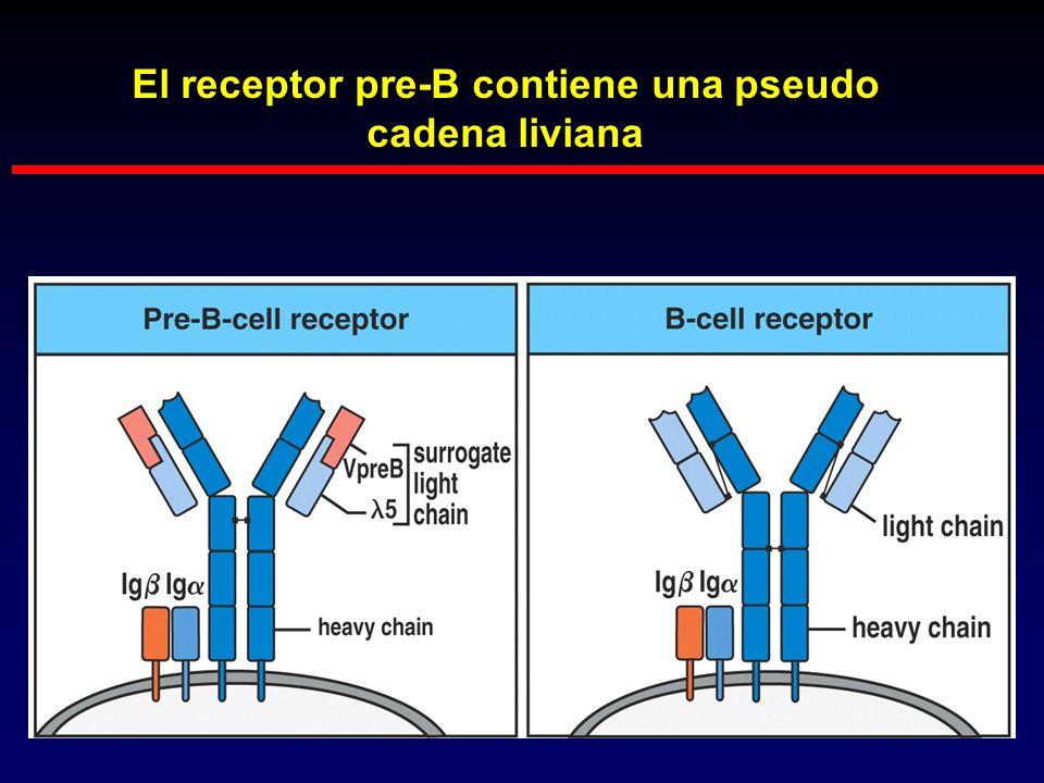 El receptor pre-B contiene una pseudo cadena liviana