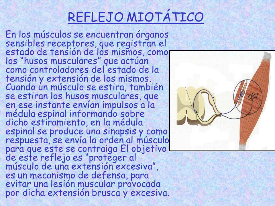 REFLEJO MIOTÁTICO En los músculos se encuentran órganos sensibles receptores, que registran el estado de tensión de los mismos, como los husos muscula