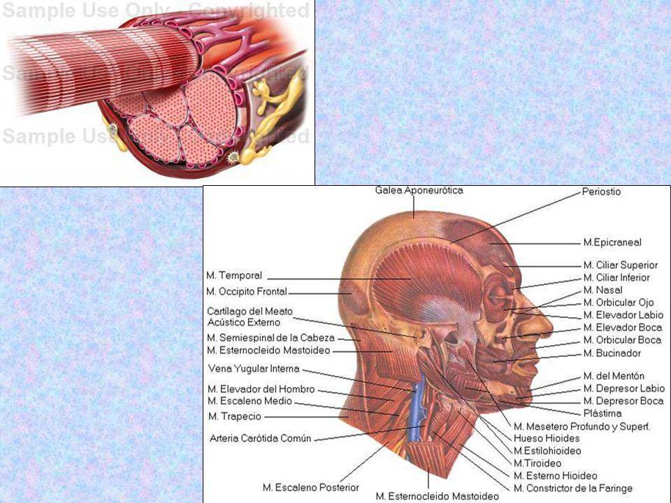 REFLEJO MIOTÁTICO En los músculos se encuentran órganos sensibles receptores, que registran el estado de tensión de los mismos, como los husos musculares que actúan como controladores del estado de la tensión y extensión de los mismos.