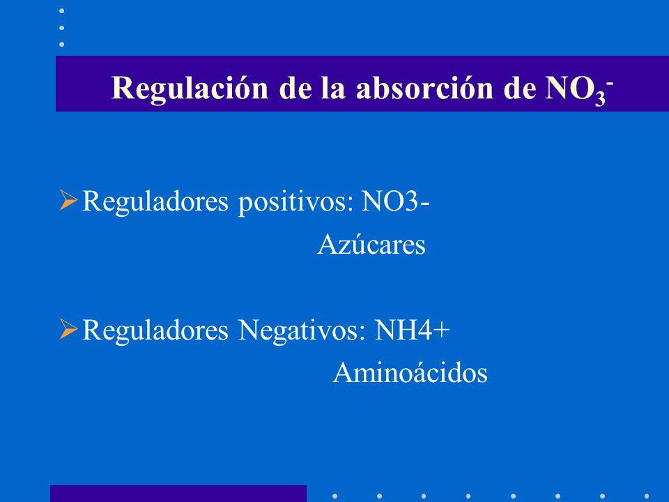 Regulación de la absorción de NO 3 - Reguladores positivos: NO3- Azúcares Reguladores Negativos: NH4+ Aminoácidos