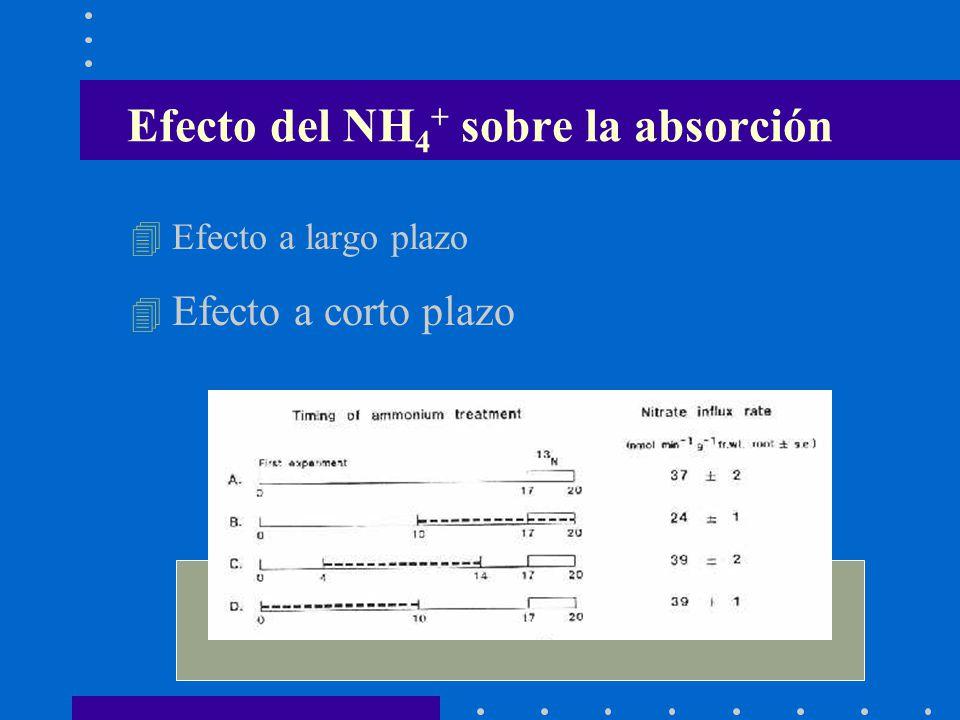 Efecto del NH 4 + sobre la absorción 4 Efecto a largo plazo 4 Efecto a corto plazo