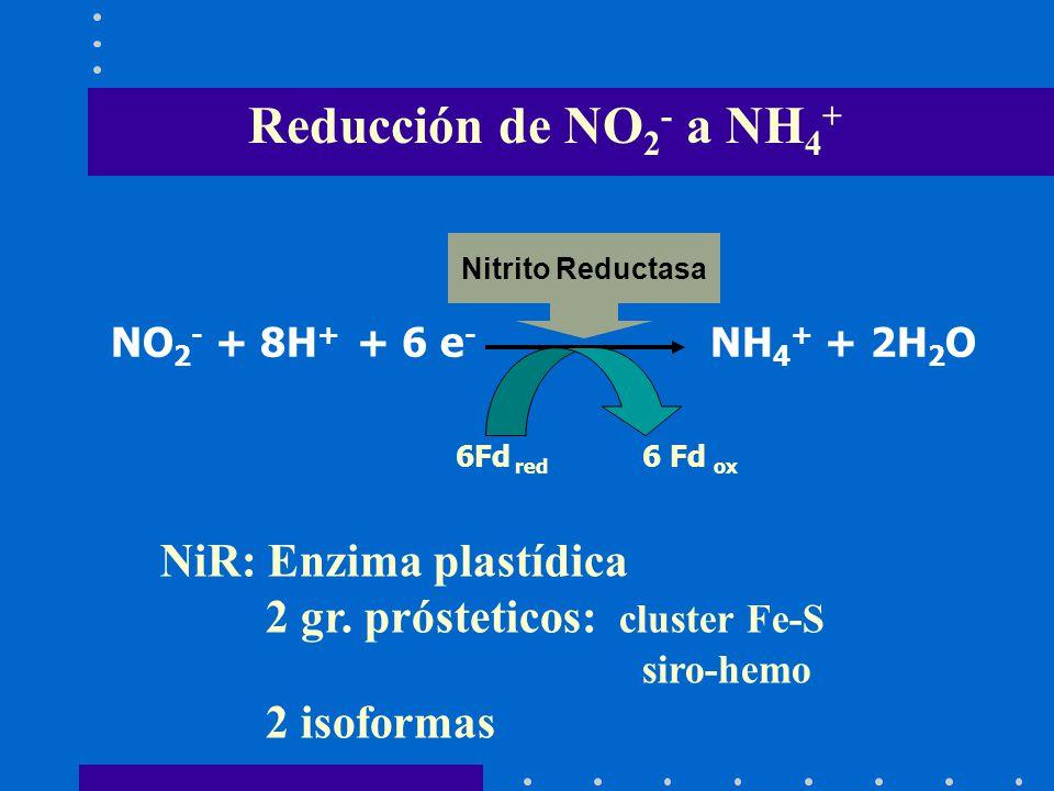 Reducción de NO 2 - a NH 4 + NO 2 - + 8H + + 6 e - NH 4 + + 2H 2 O 6Fd red 6 Fd ox Nitrito Reductasa NiR: Enzima plastídica 2 gr. prósteticos: cluster