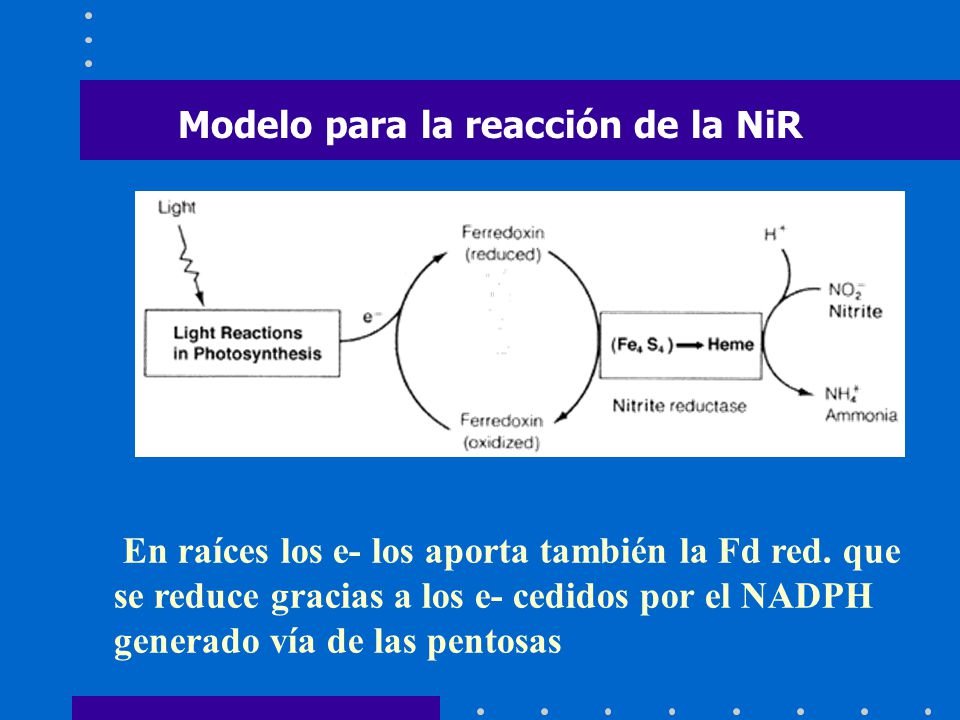 Modelo para la reacción de la NiR En raíces los e- los aporta también la Fd red. que se reduce gracias a los e- cedidos por el NADPH generado vía de l