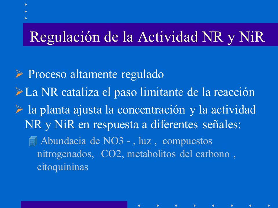 Proceso altamente regulado La NR cataliza el paso limitante de la reacción la planta ajusta la concentración y la actividad NR y NiR en respuesta a di