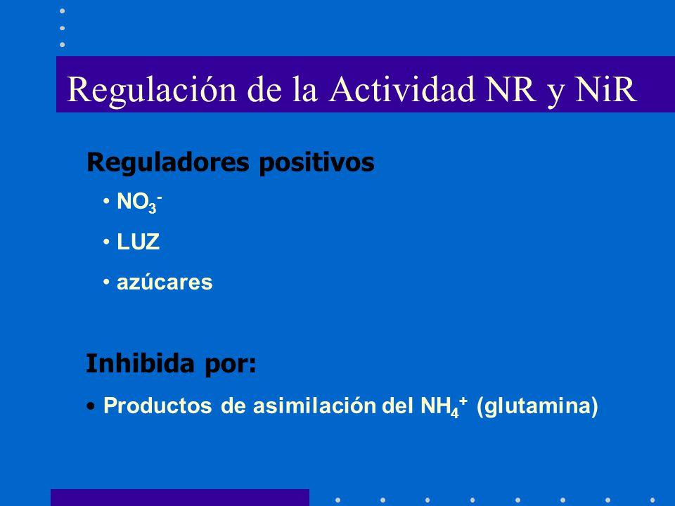 NO 3 - LUZ azúcares Reguladores positivos Inhibida por: Productos de asimilación del NH 4 + (glutamina) Regulación de la Actividad NR y NiR