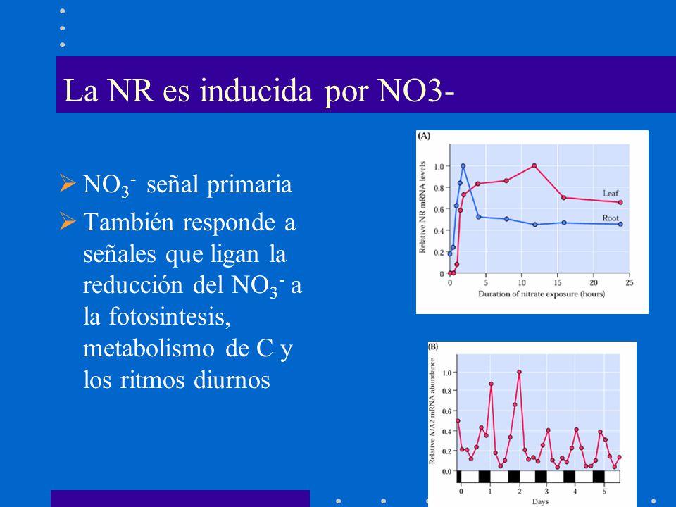La NR es inducida por NO3- NO 3 - señal primaria También responde a señales que ligan la reducción del NO 3 - a la fotosintesis, metabolismo de C y lo