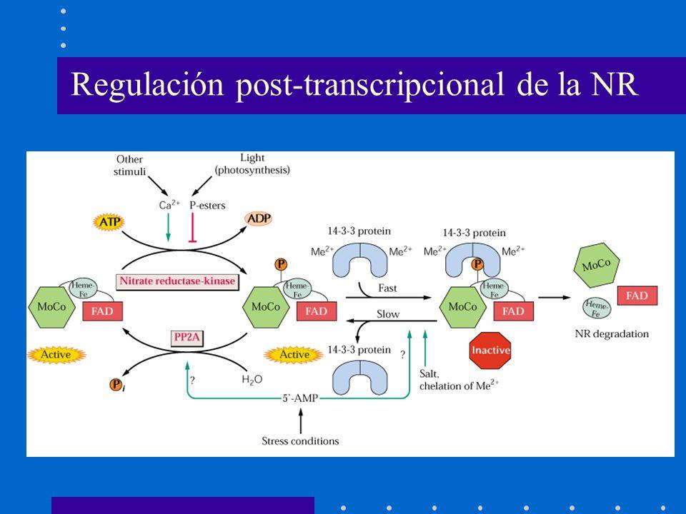 Regulación post-transcripcional de la NR
