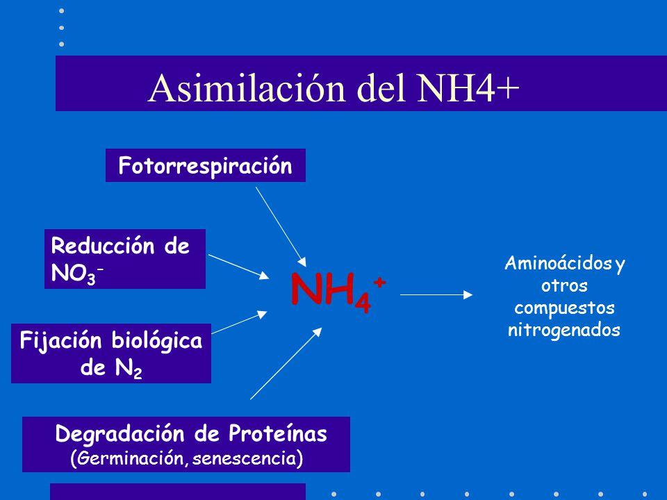 NH 4 + Degradación de Proteínas (Germinación, senescencia) Reducción de NO 3 - Fotorrespiración Fijación biológica de N 2 Aminoácidos y otros compuest