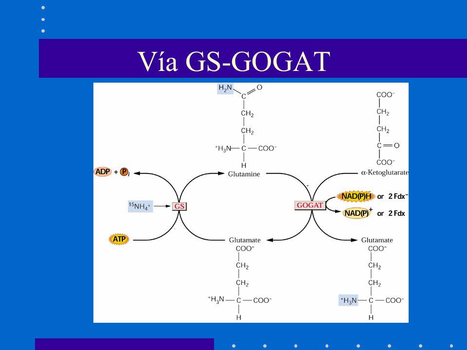 Vía GS-GOGAT