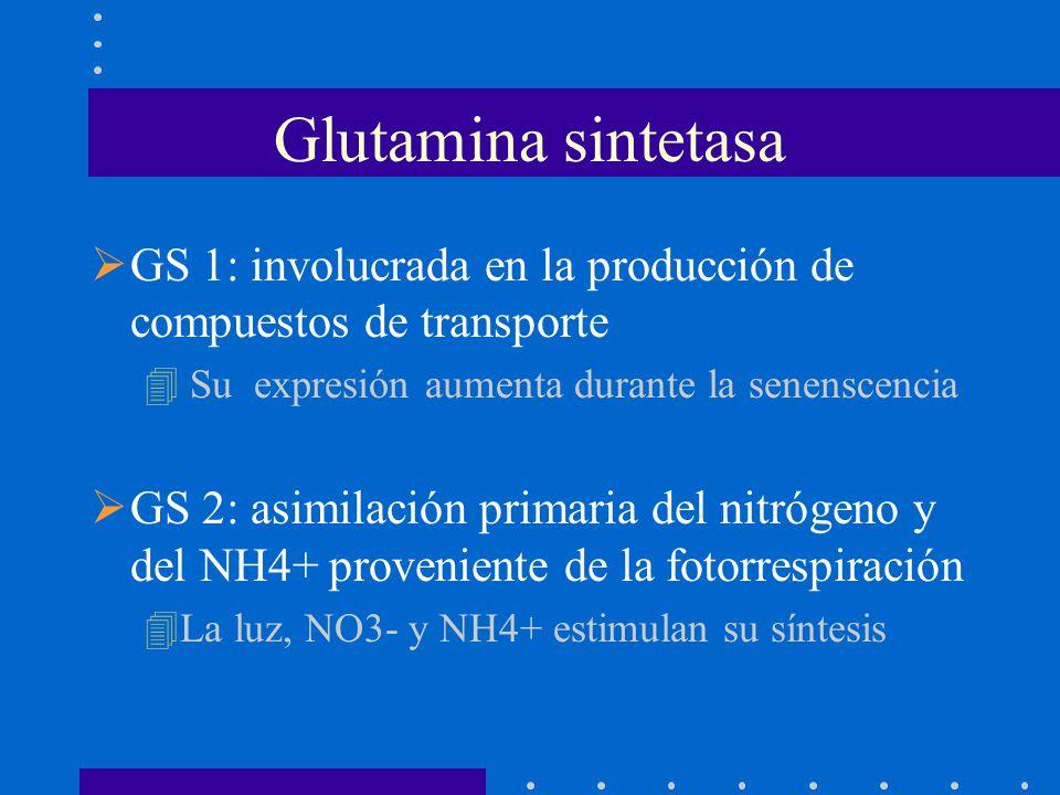 GS 1: involucrada en la producción de compuestos de transporte 4 Su expresión aumenta durante la senenscencia GS 2: asimilación primaria del nitrógeno