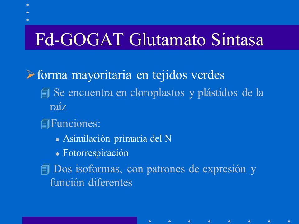 Fd-GOGAT Glutamato Sintasa forma mayoritaria en tejidos verdes 4 Se encuentra en cloroplastos y plástidos de la raíz 4Funciones: l Asimilación primari
