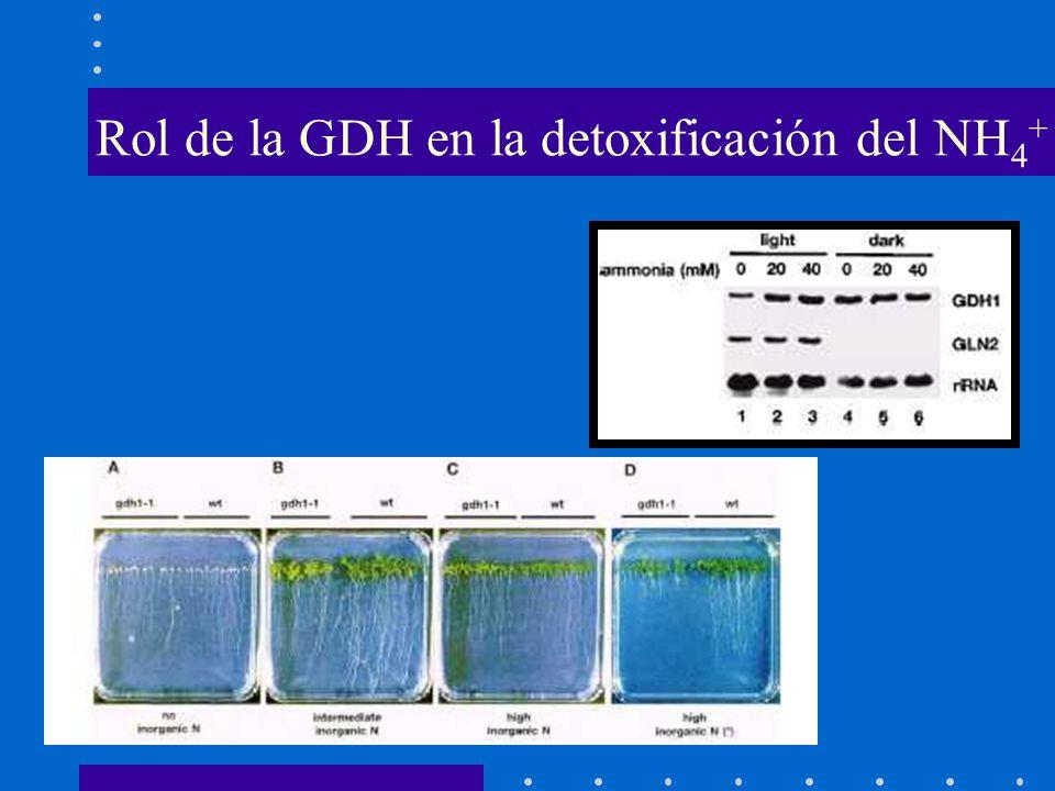 Rol de la GDH en la detoxificación del NH 4 +