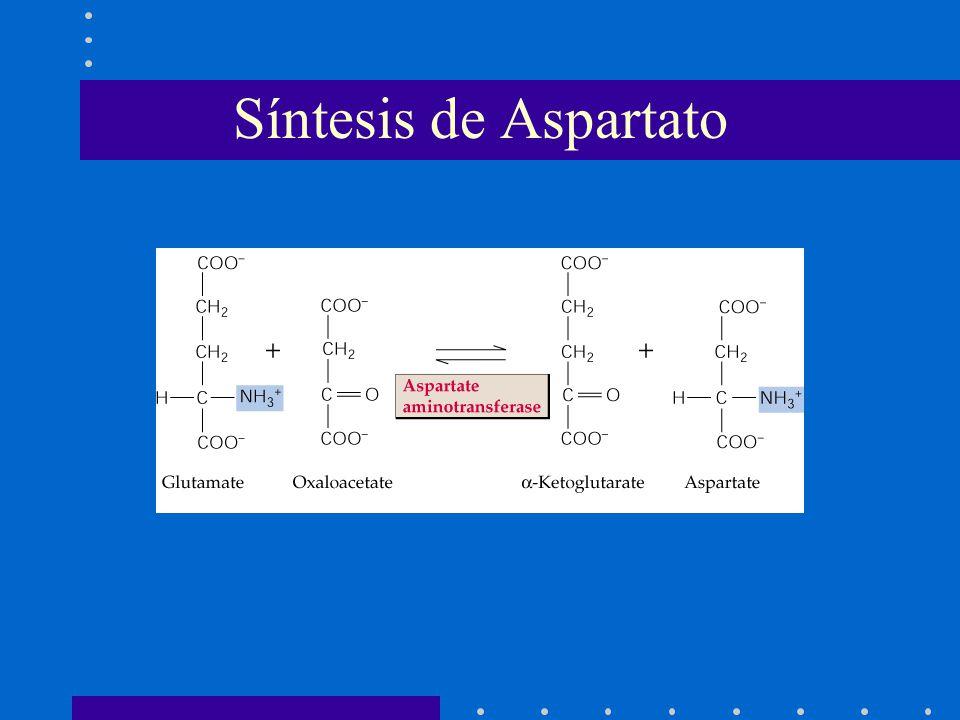 Síntesis de Aspartato