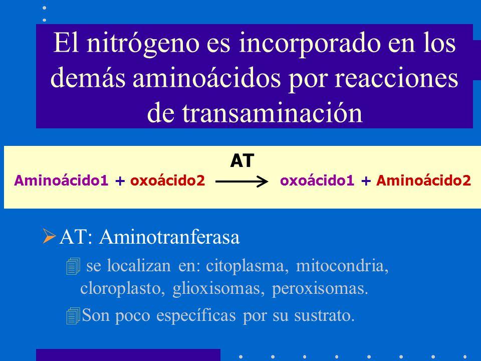 AT Aminoácido1 + oxoácido2 oxoácido1 + Aminoácido2 El nitrógeno es incorporado en los demás aminoácidos por reacciones de transaminación AT: Aminotran