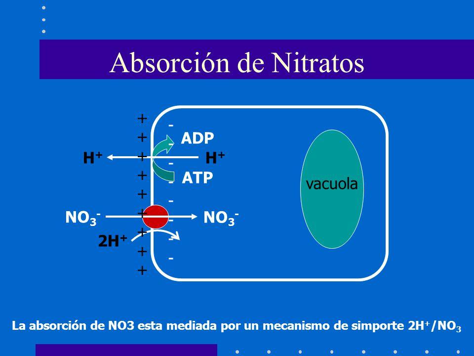 La absorción de NO3 esta mediada por un mecanismo de simporte 2H + /NO 3 Absorción de Nitratos vacuola NO 3 - H+H+ H+H+ ADP ATP ++++++++++++++++++ ---