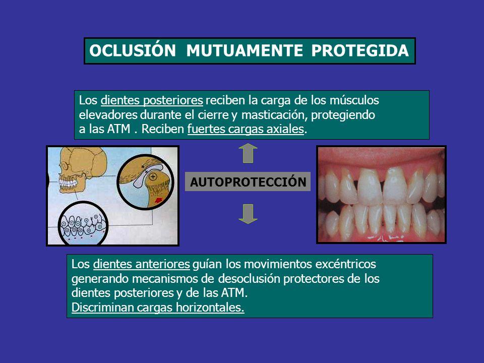 Los dientes posteriores reciben la carga de los músculos elevadores durante el cierre y masticación, protegiendo a las ATM. Reciben fuertes cargas axi