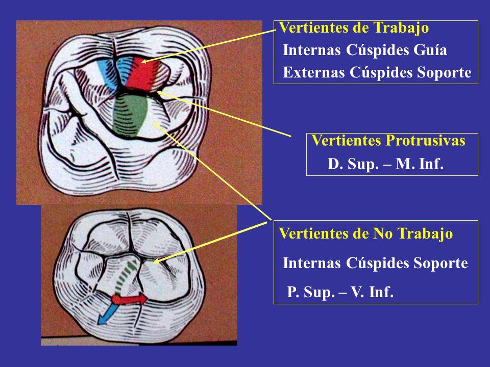 Vertientes Protrusivas D. Sup. – M. Inf. Vertientes de Trabajo Internas Cúspides Guía Externas Cúspides Soporte Vertientes de No Trabajo Internas Cúsp