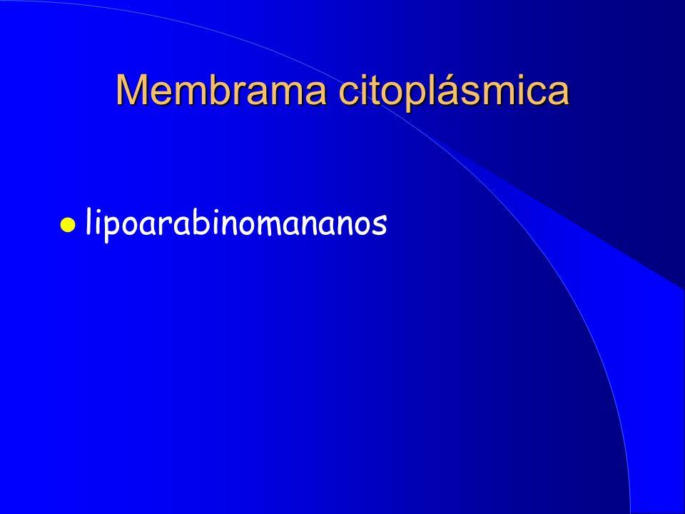 Membrama citoplásmica l lipoarabinomananos