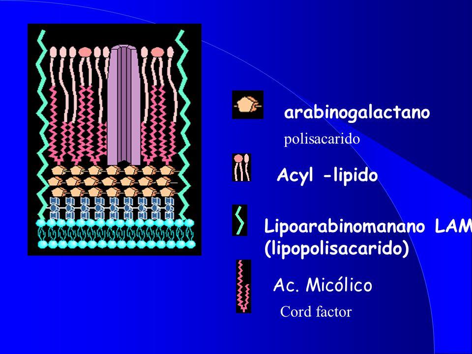 arabinogalactano Cord factor Ac.