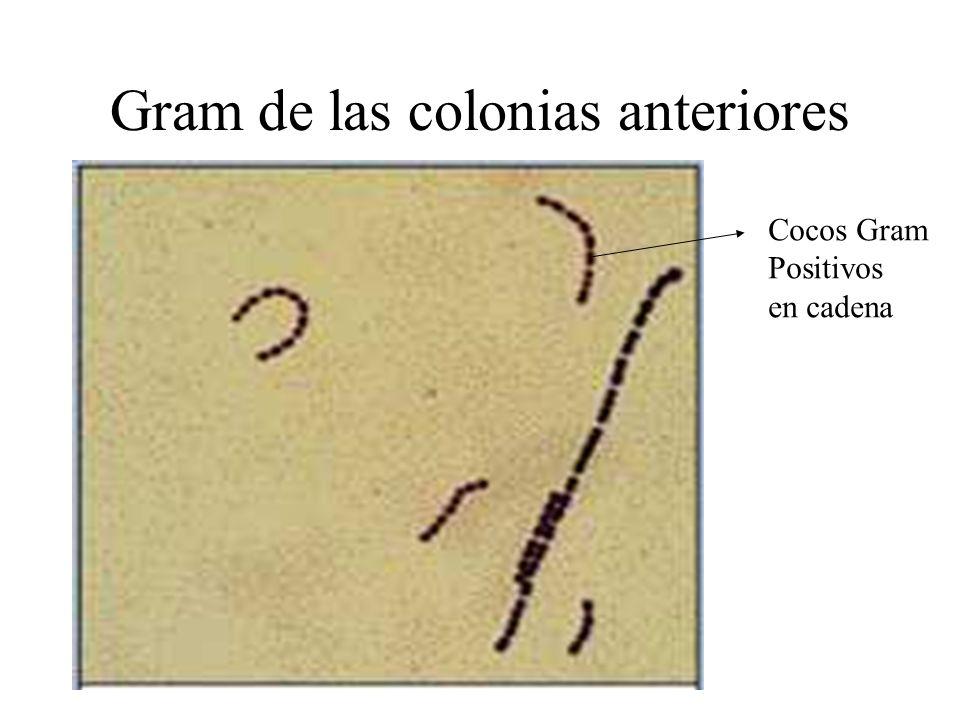 Gram de las colonias anteriores Cocos Gram Positivos en cadena