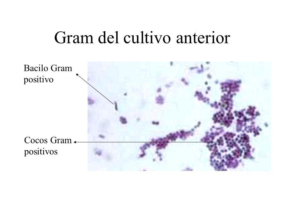 Gram del cultivo anterior Bacilo Gram positivo Cocos Gram positivos
