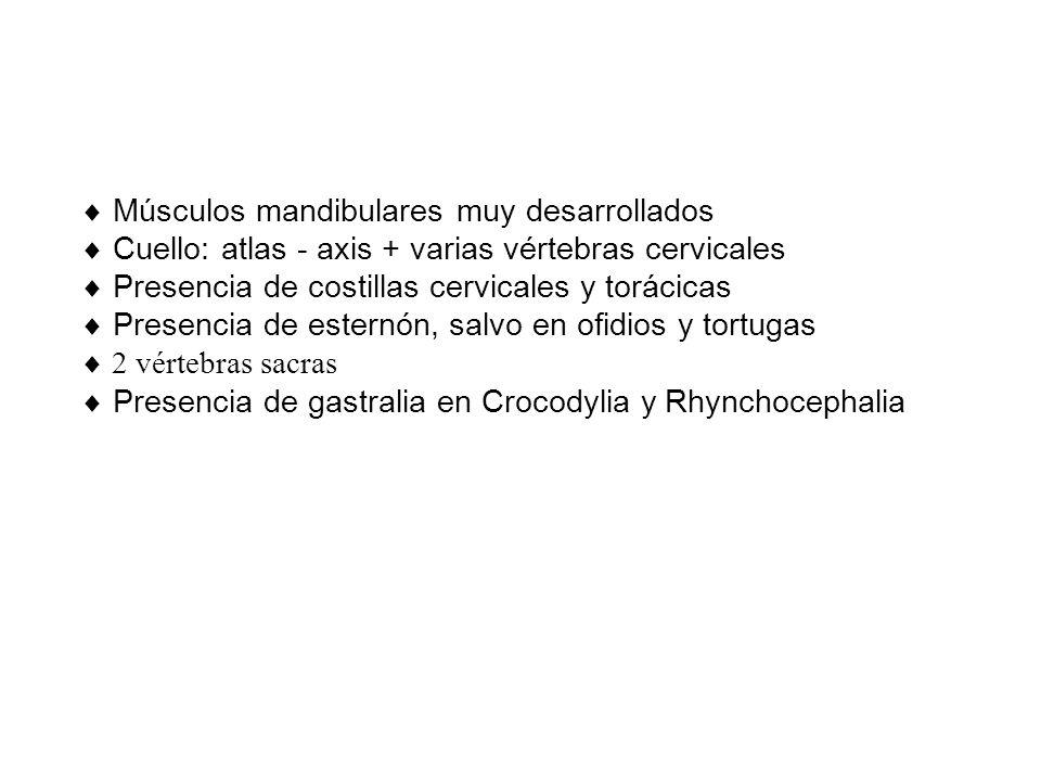 Músculos mandibulares muy desarrollados Cuello: atlas - axis + varias vértebras cervicales Presencia de costillas cervicales y torácicas Presencia de esternón, salvo en ofidios y tortugas 2 vértebras sacras Presencia de gastralia en Crocodylia y Rhynchocephalia