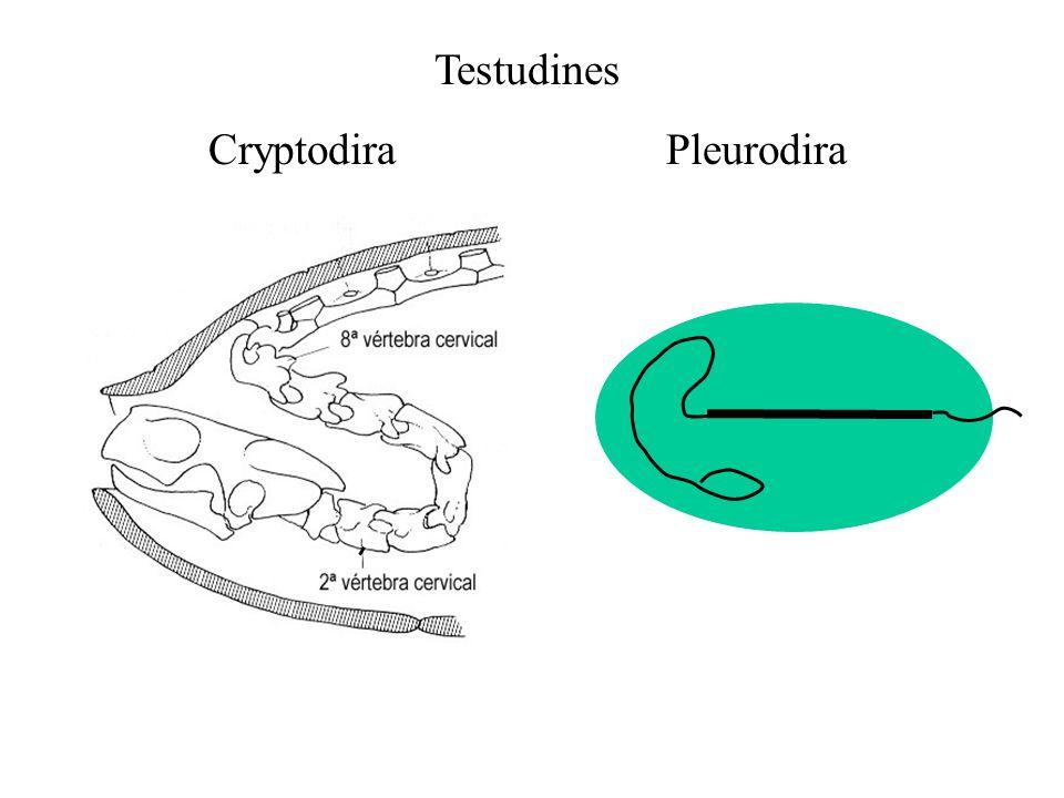 Testudines Cryptodira Pleurodira
